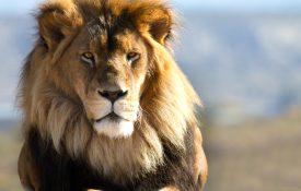 film sui leoni